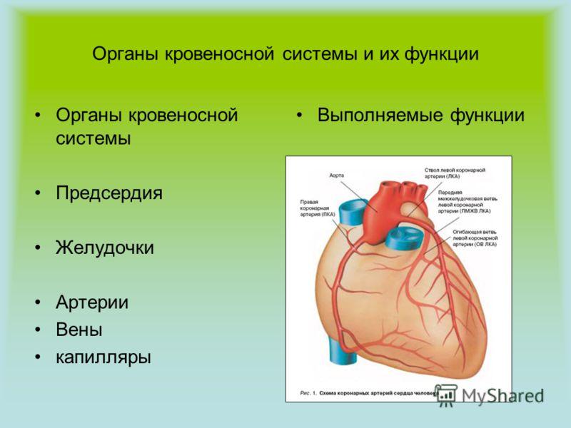 Органы кровеносной системы и их функции Органы кровеносной системы Предсердия Желудочки Артерии Вены капилляры Выполняемые функции