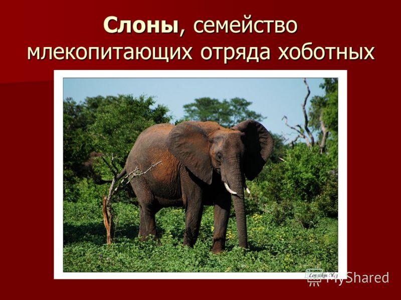 Слоны, семейство млекопитающих отряда хоботных
