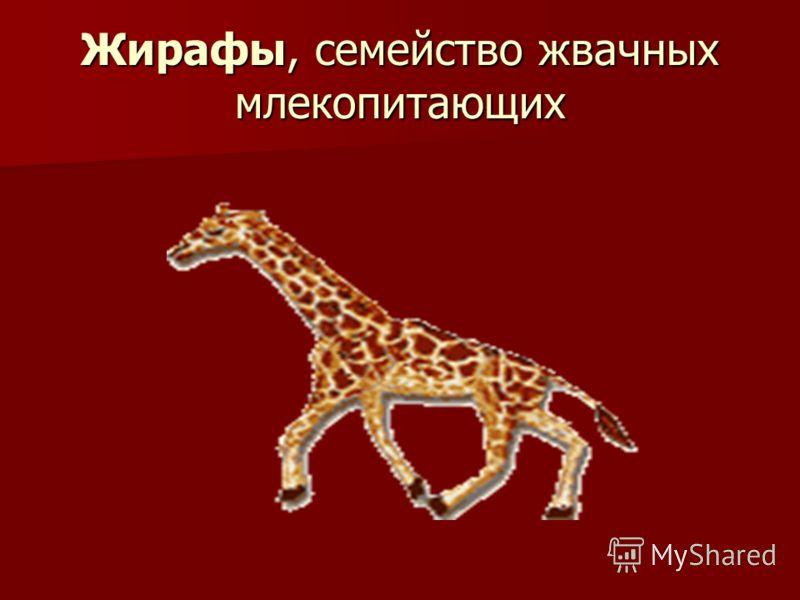 Жирафы, семейство жвачных млекопитающих