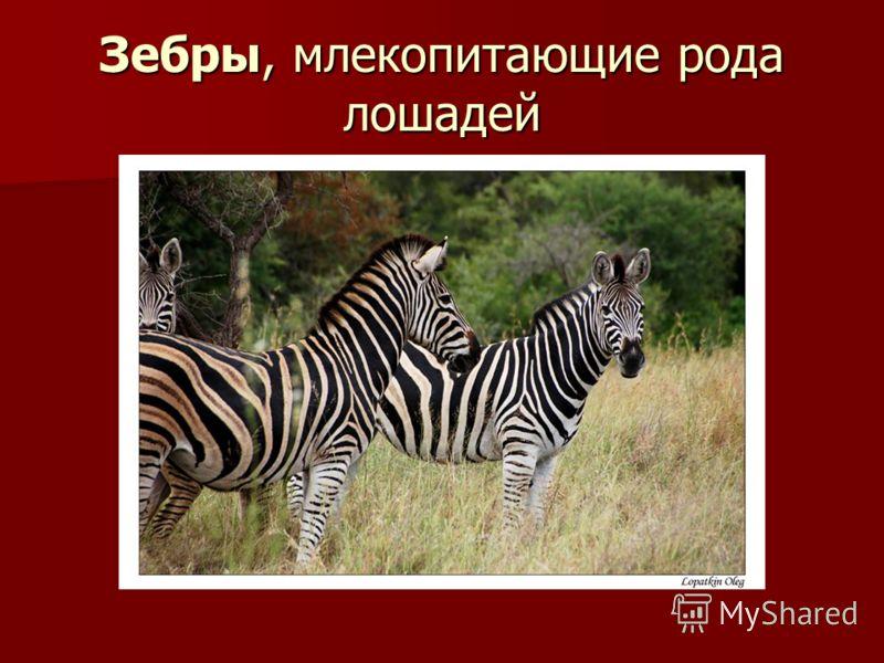 Зебры, млекопитающие рода лошадей