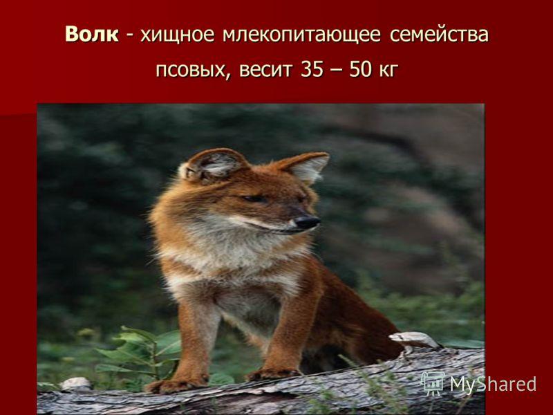 Волк - хищное млекопитающее семейства псовых, весит 35 – 50 кг