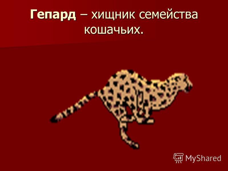 Гепард – хищник семейства кошачьих.