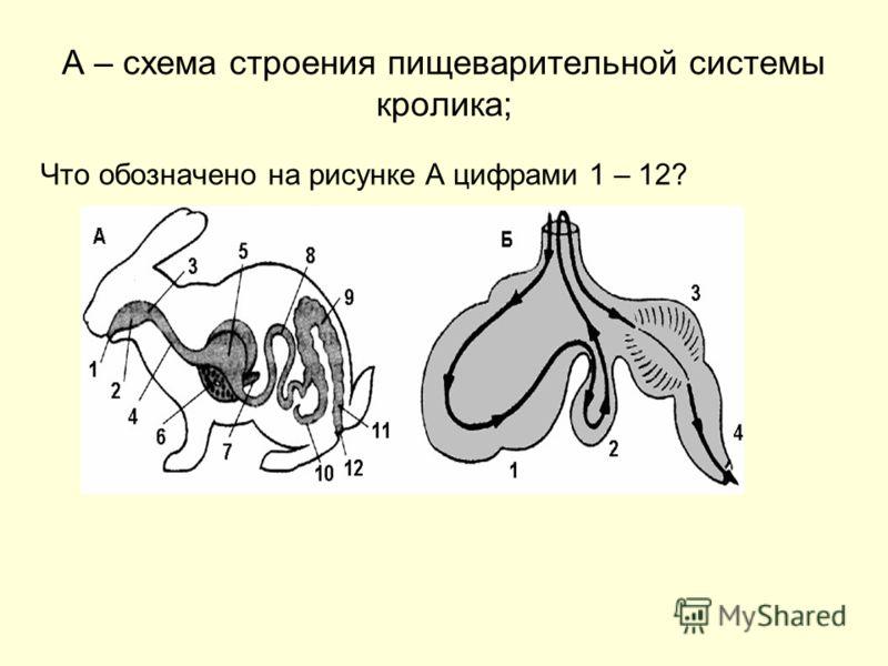 А – схема строения пищеварительной системы кролика; Что обозначено на рисунке А цифрами 1 – 12?