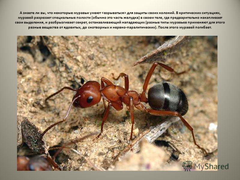 А знаете ли вы, что некоторые муравьи умеют «взрываться» для защиты своих колоний. В критических ситуациях, муравей разрезает специальные полости (обычно это часть желудка) в своем теле, где предварительно накапливает свои выделения, и разбрызгивает