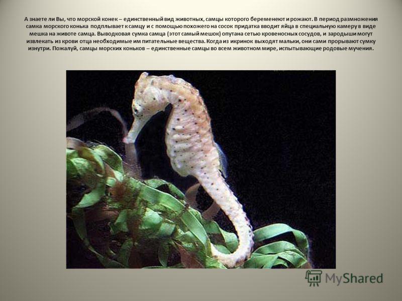 А знаете ли Вы, что морской конек – единственный вид животных, самцы которого беременеют и рожают. В период размножения самка морского конька подплывает к самцу и с помощью похожего на сосок придатка вводит яйца в специальную камеру в виде мешка на ж