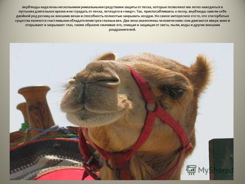 верблюды наделены несколькими уникальными средствами защиты от песка, которые позволяют им легко находиться в пустынях длительное время и не страдать от песка, летящего в «лицо». Так, приспосабливаясь к песку, верблюды завели себе двойной ряд ресниц