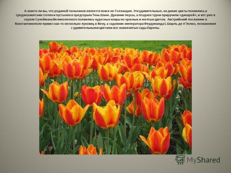 А знаете ли вы, что родиной тюльпанов является вовсе не Голландия. Эти удивительные, но дикие цветы появились в среднеазиатских степях и пустынях в предгорьях Тянь Шаня. Древние персы, а позднее турки приручили «дикарей», и вот уже в серале Сулеймана