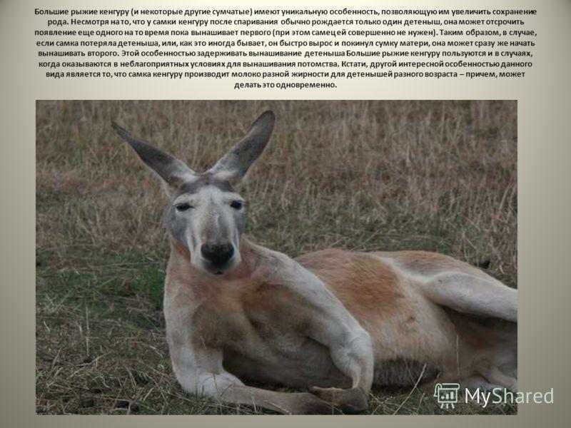 Большие рыжие кенгуру (и некоторые другие сумчатые) имеют уникальную особенность, позволяющую им увеличить сохранение рода. Несмотря на то, что у самки кенгуру после спаривания обычно рождается только один детеныш, она может отсрочить появление еще о