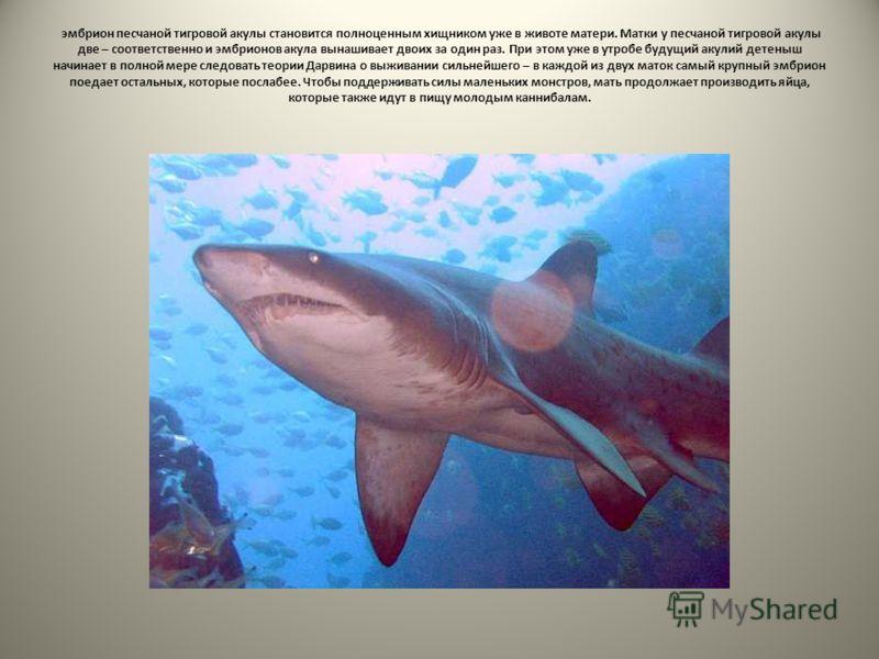 эмбрион песчаной тигровой акулы становится полноценным хищником уже в животе матери. Матки у песчаной тигровой акулы две – соответственно и эмбрионов акула вынашивает двоих за один раз. При этом уже в утробе будущий акулий детеныш начинает в полной м