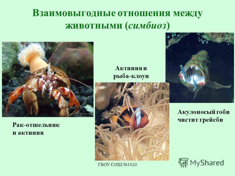 ГБОУ СОШ 1020 Взаимовыгодные отношения между животными (симбиоз) Акулоносый гоби чистит грейсби Актиния и рыба-клоун Рак-отшельник и актиния