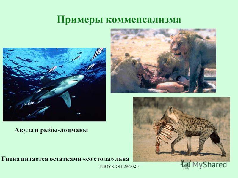 ГБОУ СОШ 1020 Примеры комменсализма Акула и рыбы-лоцманы Гиена питается остатками «со стола» льва