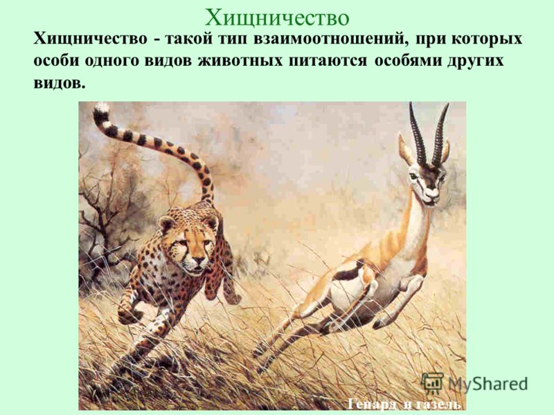 ГБОУ СОШ 1020 Хищничество Хищничество - такой тип взаимоотношений, при которых особи одного видов животных питаются особями других видов. Гепард и газель