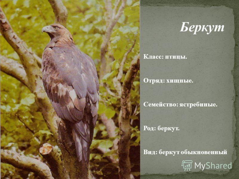 . Класс: птицы. Отряд: хищные. Семейство: ястребиные. Род: беркут. Вид: беркут обыкновенный
