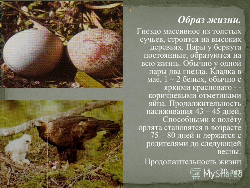 Образ жизни. Гнездо массивное из толстых сучьев, строится на высоких деревьях. Пары у беркута постоянные, образуются на всю жизнь. Обычно у одной пары два гнезда. Кладка в мае, 1 – 2 белых, обычно с яркими красновато - - коричневыми отметинами яйца.