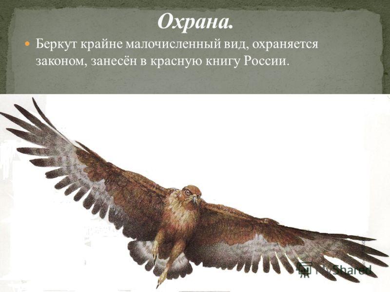 Беркут крайне малочисленный вид, охраняется законом, занесён в красную книгу России.