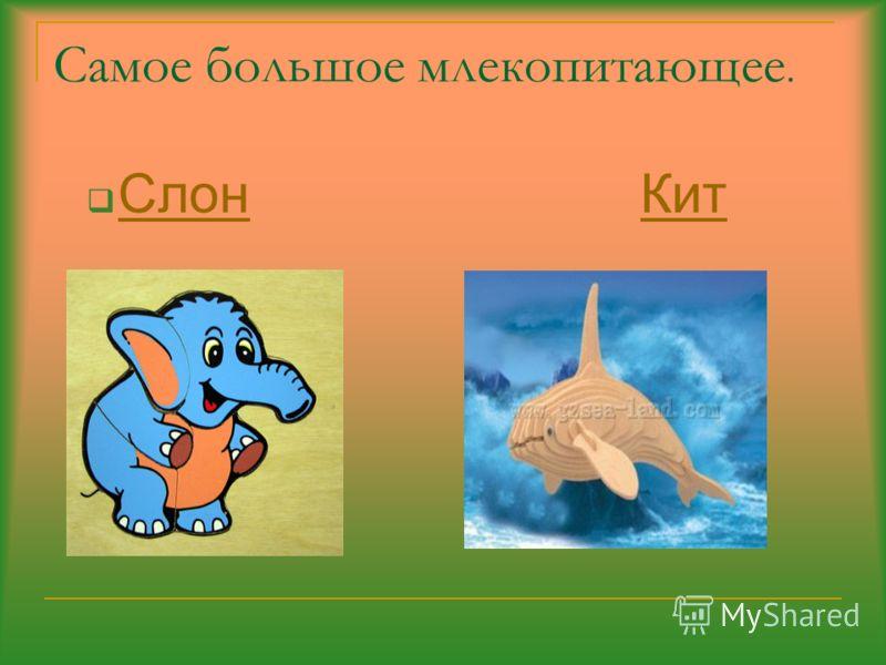 Самое большое млекопитающее. Слон Кит СлонКит
