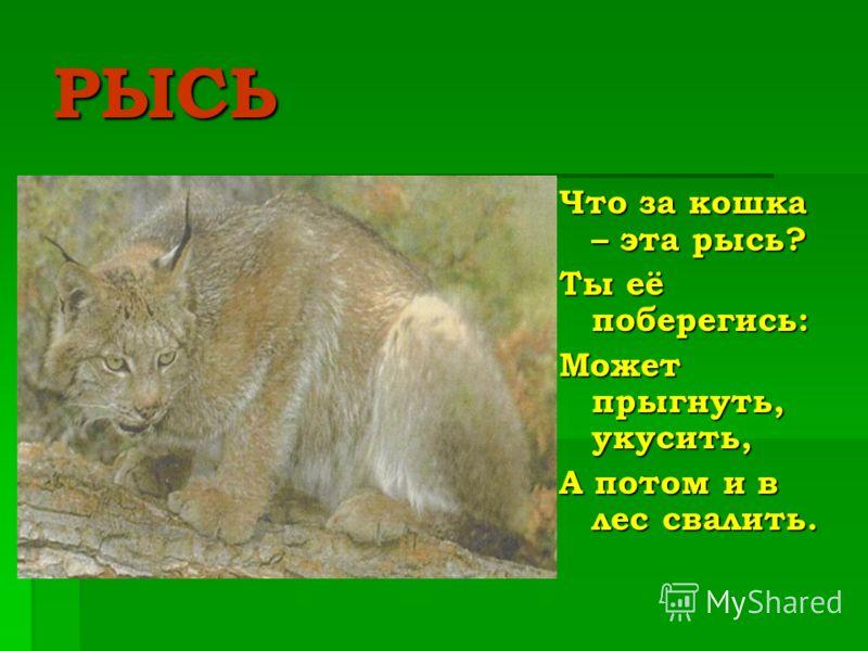 РЫСЬ Что за кошка – эта рысь? Ты её поберегись: Может прыгнуть, укусить, А потом и в лес свалить.