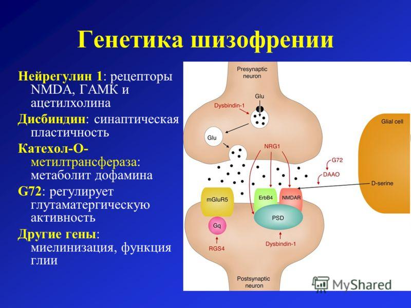 Генетика шизофрении Нейрегулин 1: рецепторы NMDA, ГАМК и ацетилхолина Дисбиндин: синаптическая пластичность Катехол-O- метилтрансфераза: метаболит дофамина G72: регулирует глутаматергическую активность Другие гены: миелинизация, функция глии