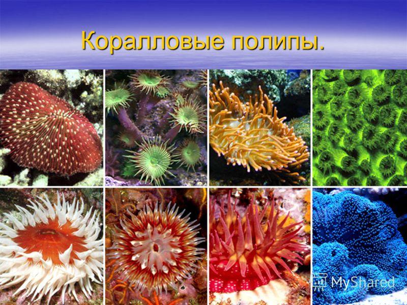 Коралловые полипы.