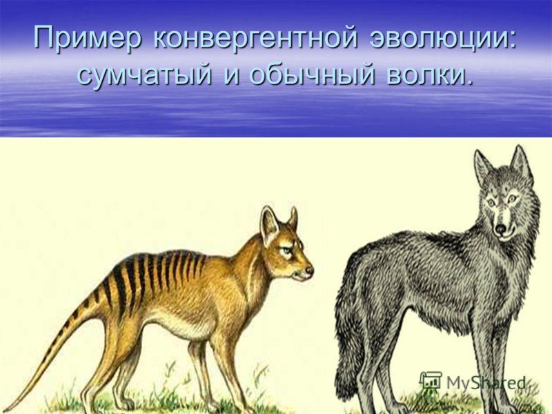 Пример конвергентной эволюции: сумчатый и обычный волки.
