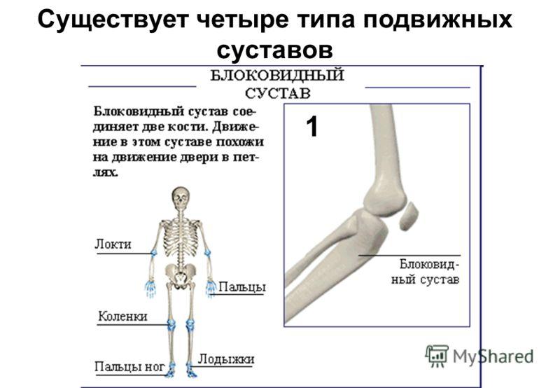 Существует четыре типа подвижных суставов 1