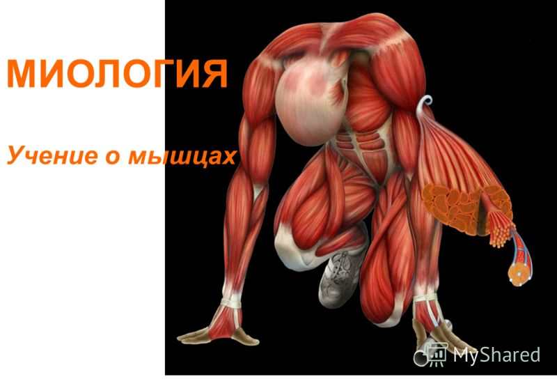 МИОЛОГИЯ Учение о мышцах