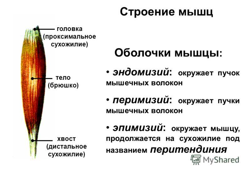 Строение мышц головка (проксимальное сухожилие) тело (брюшко) хвост (дистальное сухожилие) Оболочки мышцы : эндомизий: окружает пучок мышечных волокон перимизий: окружает пучки мышечных волокон эпимизий: окружает мышцу, продолжается на сухожилие под