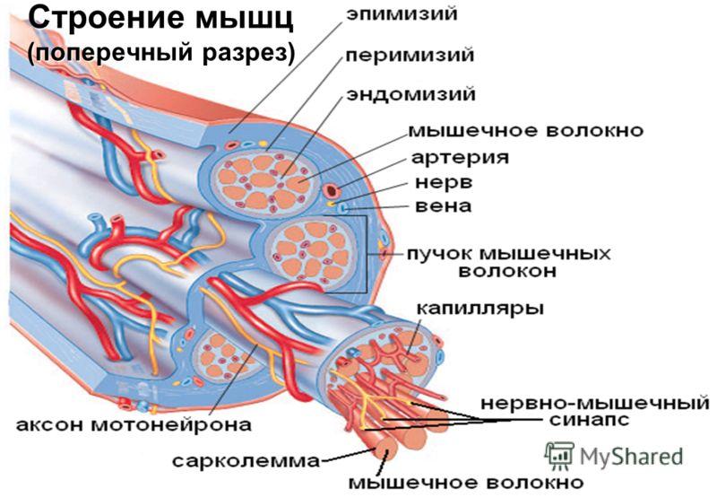 Строение мышц (поперечный разрез)
