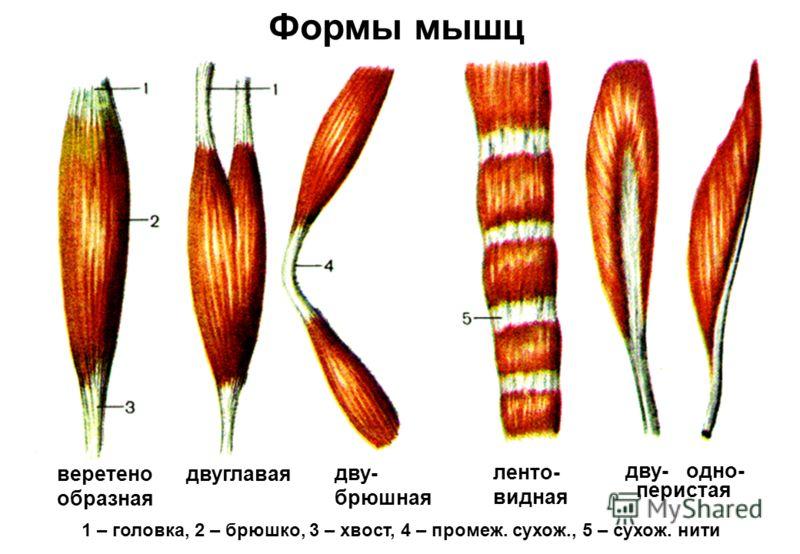 1 – головка, 2 – брюшко, 3 – хвост, 4 – промеж. сухож., 5 – сухож. нити дву- брюшная двуглавая ленто- видная дву- одно- веретено образная перистая Формы мышц