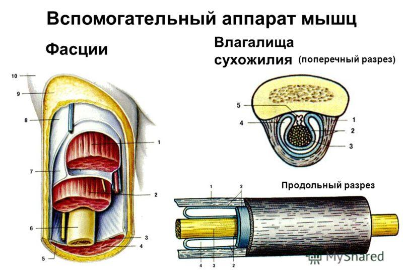 Фасции Влагалища сухожилия (поперечный разрез) Продольный разрез Вспомогательный аппарат мышц