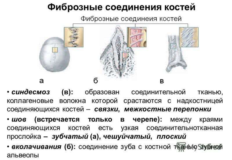 Фиброзные соединения костей синдесмоз (в): образован соединительной тканью, коллагеновые волокна которой срастаются с надкостницей соединяющихся костей – связки, межкостные перепонки шов (встречается только в черепе): между краями соединяющихся косте