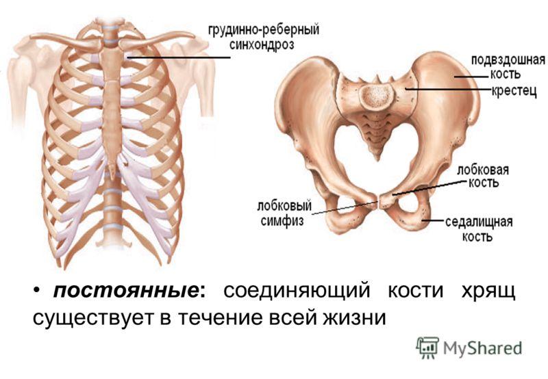 постоянные: соединяющий кости хрящ существует в течение всей жизни