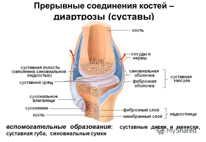 соединения костей прерывные соединения суставы