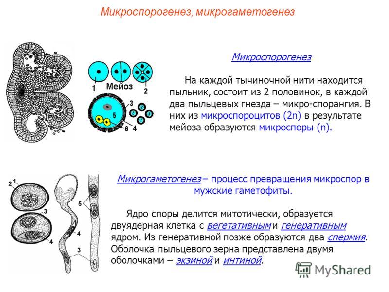 Микрогаметогенез – процесс превращения микроспор в мужские гаметофиты. Ядро споры делится митотически, образуется двуядерная клетка с вегетативным и генеративным ядром. Из генеративной позже образуются два спермия. Оболочка пыльцевого зерна представл