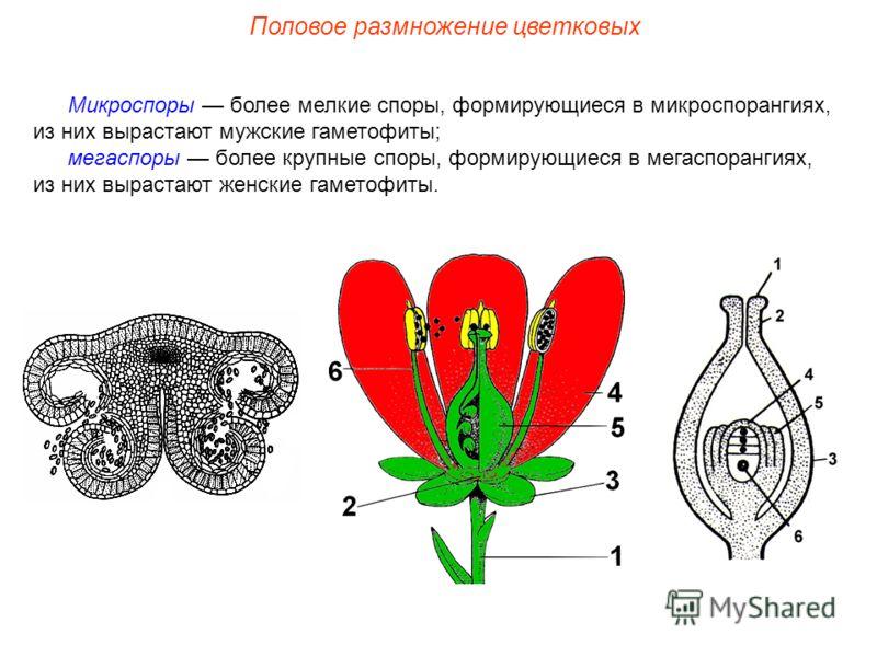 Микроспоры более мелкие споры, формирующиеся в микроспорангиях, из них вырастают мужские гаметофиты; мегаспоры более крупные споры, формирующиеся в мегаспорангиях, из них вырастают женские гаметофиты. Половое размножение цветковых