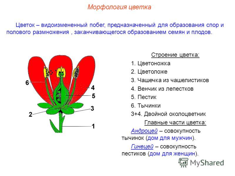 Строение цветка: 1. Цветоножка 2. Цветоложе 3. Чашечка из чашелистиков 4. Венчик из лепестков 5. Пестик 6. Тычинки 3+4. Двойной околоцветник Главные части цветка: Андроцей – совокупность тычинок (дом для мужчин). Гинецей – совокупность пестиков (дом