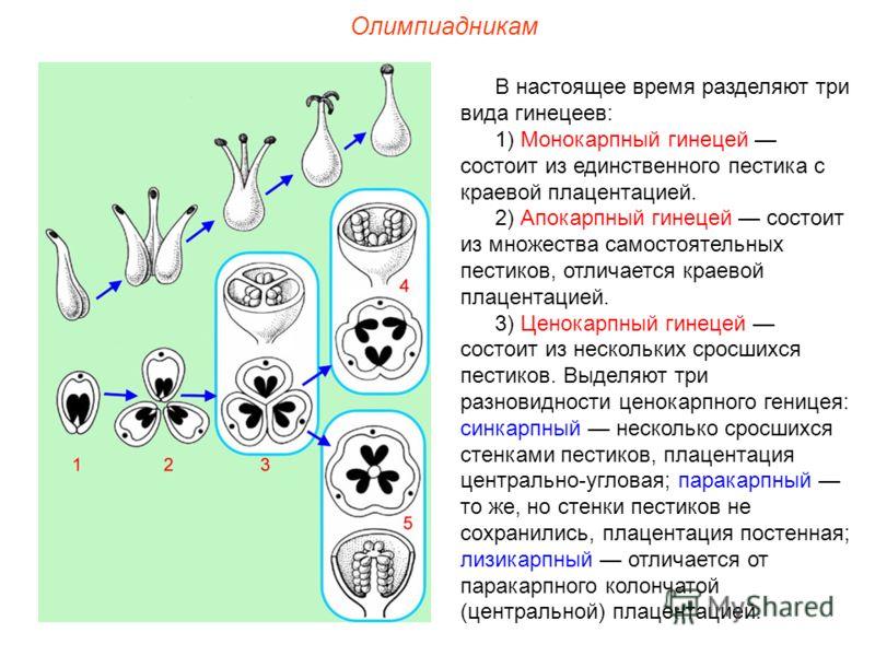 Олимпиадникам В настоящее время разделяют три вида гинецеев: 1) Монокарпный гинецей состоит из единственного пестика с краевой плацентацией. 2) Апокарпный гинецей состоит из множества самостоятельных пестиков, отличается краевой плацентацией. 3) Цено