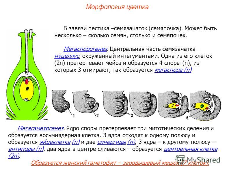 Мегагаметогенез. Ядро споры претерпевает три митотических деления и образуется восьмиядерная клетка. 3 ядра отходят к одному полюсу и образуется яйцеклетка (n) и две синергиды (n), 3 ядра – к другому полюсу – антиподы (n), два ядра в центре сливаются