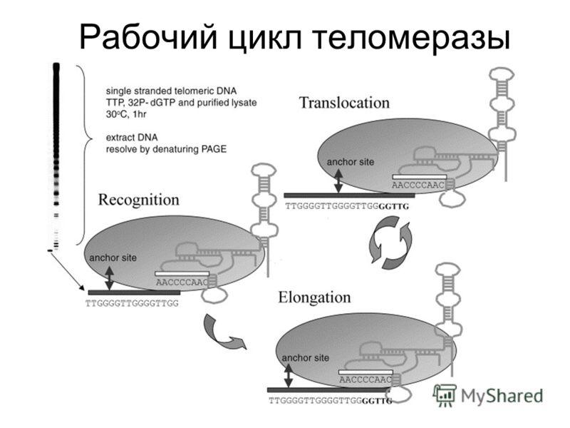 Рабочий цикл теломеразы