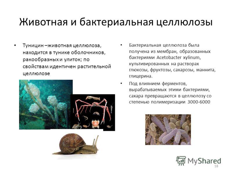 Животная и бактериальная целлюлозы Туницин –животная целлюлоза, находится в тунике оболочников, ракообразных и улиток; по свойствам идентичен растительной целлюлозе Бактериальная целлюлоза была получена из мембран, образованных бактериями Acetobacter
