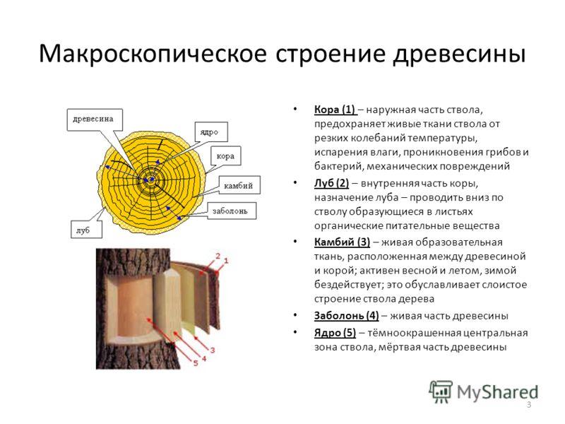 Макроскопическое строение древесины Кора (1) – наружная часть ствола, предохраняет живые ткани ствола от резких колебаний температуры, испарения влаги, проникновения грибов и бактерий, механических повреждений Луб (2) – внутренняя часть коры, назначе