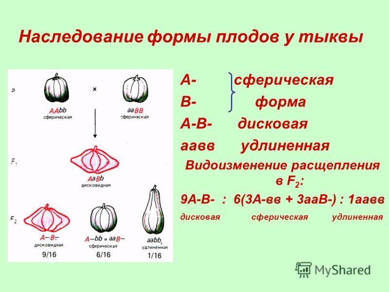 Наследование формы плодов у тыквы А- сферическая В- форма А-В- дисковая аавв удлиненная Видоизменение расщепления в F 2 : 9А-В- : 6(3А-вв + 3ааВ-) : 1аавв дисковая сферическая удлиненная