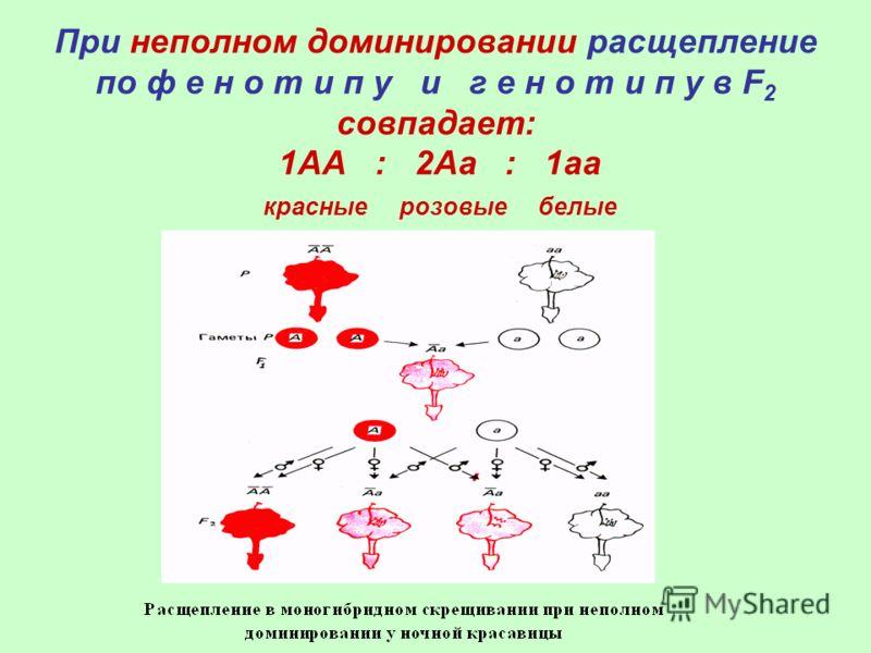 При неполном доминировании расщепление по ф е н о т и п у и г е н о т и п у в F 2 совпадает: 1АА : 2Аа : 1аа красные розовые белые