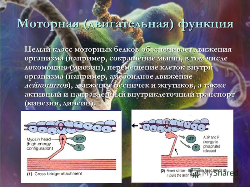 Моторная (двигательная) функция Целый класс моторных белков обеспечивает движения организма (например, сокращение мышц, в том числе локомоцию (миозин), перемещение клеток внутри организма (например, амебоидное движение лейкоцитов), движение ресничек