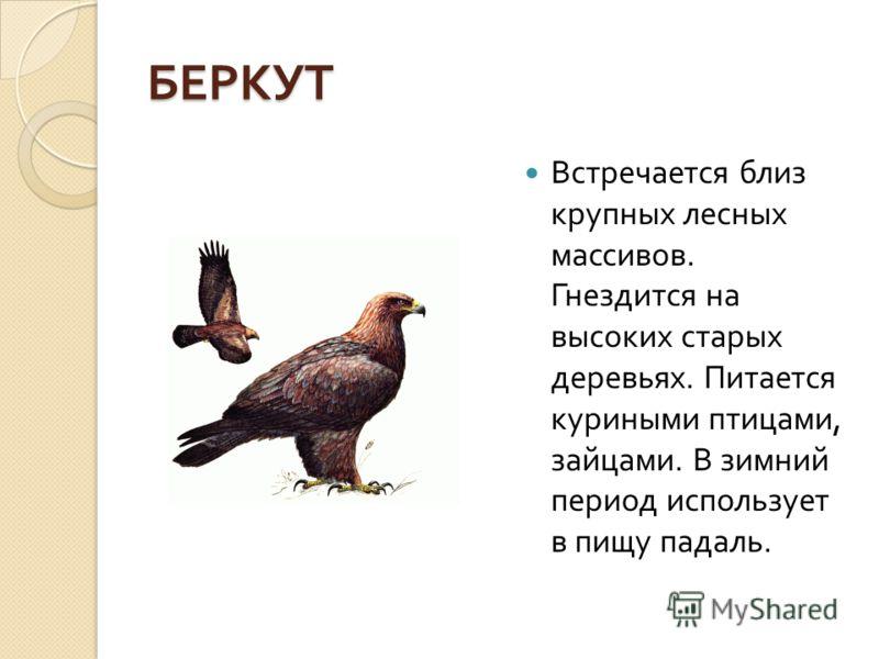 БЕРКУТ Встречается близ крупных лесных массивов. Гнездится на высоких старых деревьях. Питается куриными птицами, зайцами. В зимний период использует в пищу падаль.