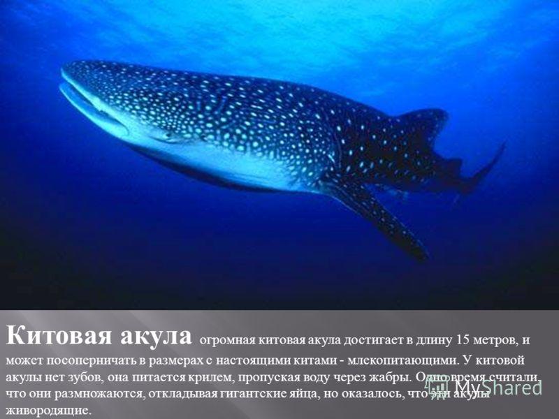 Китовая акула огромная китовая акула достигает в длину 15 метров, и может посоперничать в размерах с настоящими китами - млекопитающими. У китовой акулы нет зубов, она питается крилем, пропуская воду через жабры. Одно время считали, что они размножаю