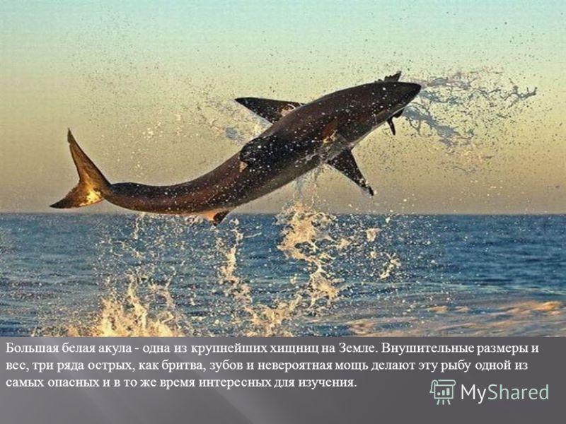 Большая белая акула - одна из крупнейших хищниц на Земле. Внушительные размеры и вес, три ряда острых, как бритва, зубов и невероятная мощь делают эту рыбу одной из самых опасных и в то же время интересных для изучения.
