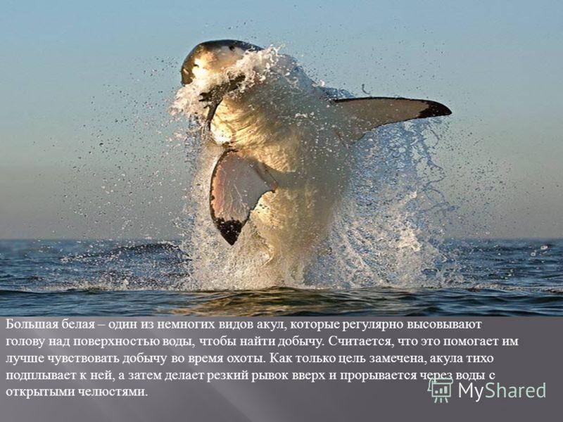 Большая белая – один из немногих видов акул, которые регулярно высовывают голову над поверхностью воды, чтобы найти добычу. Считается, что это помогает им лучше чувствовать добычу во время охоты. Как только цель замечена, акула тихо подплывает к ней,