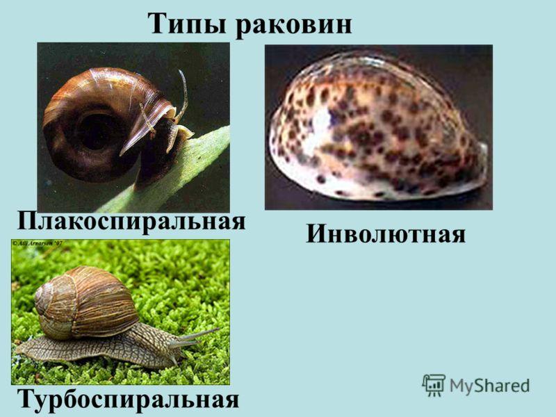 Типы раковин Плакоспиральная Турбоспиральная Инволютная