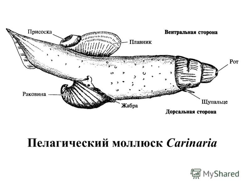 Пелагический моллюск Carinaria